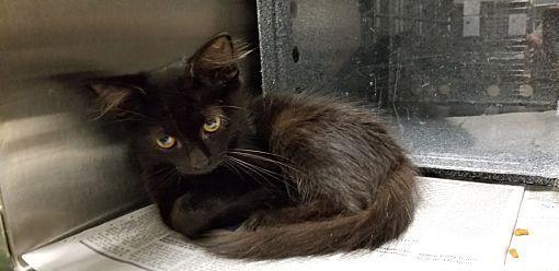 7 2018 Urgent Henderson Nc Domestic Shorthair Meet Ashe A Cat For Adoption