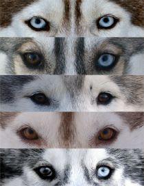 The eyes of Siberian Huskies.