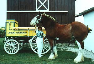 Larsons Famous Clydesdales tourist attraction in Ripon Wisconsin 90 minute tour and show with museum and souvenir shop. Clydesdale Tourist Attraction, Famous Clydesdales for Sale, Draft horses for sale, Clydesdale Horse Show, Clydesdale museum