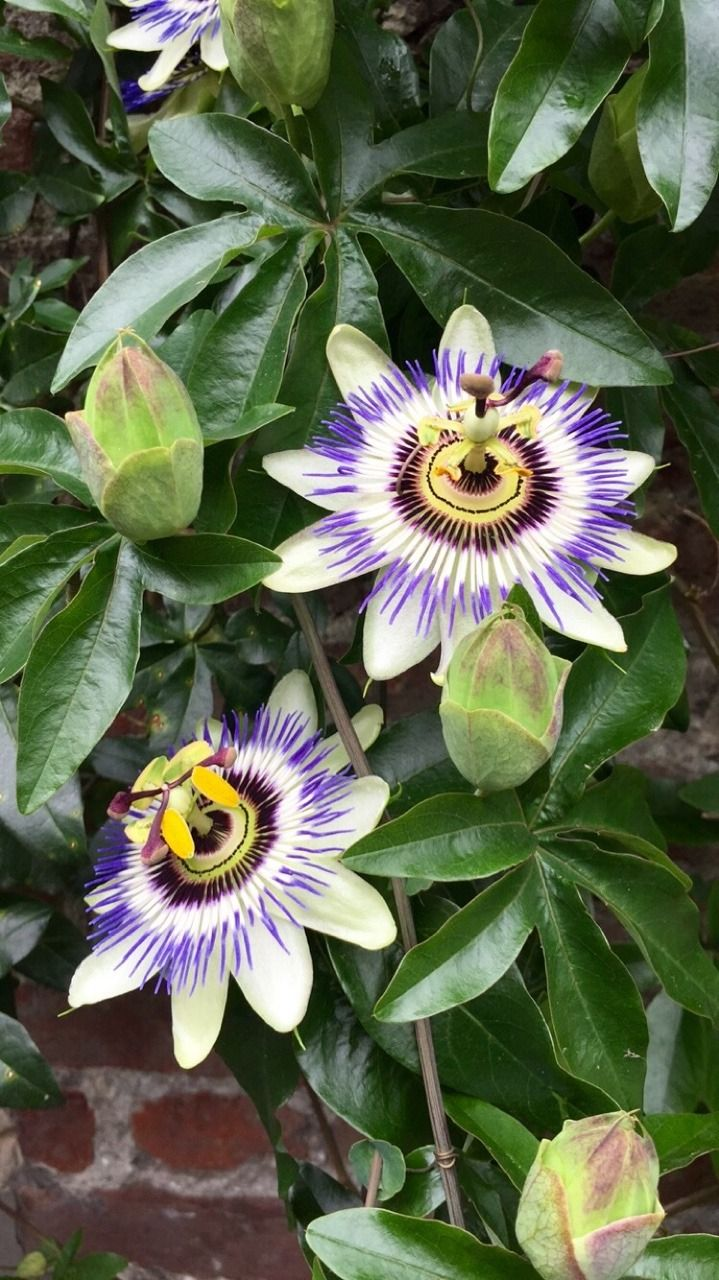 Passionfruit Flowers In 2020 Passion Fruit Flower Flowering Vines Amazing Flowers