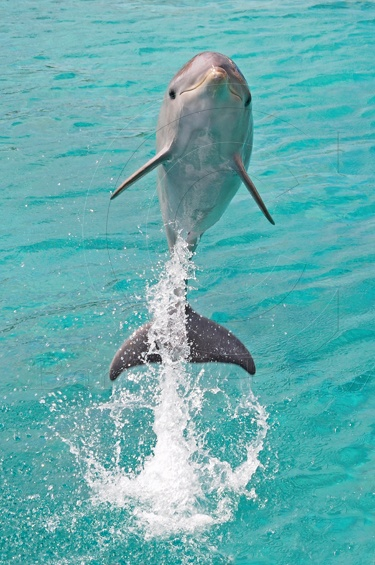 Jumping Baby Dolphin