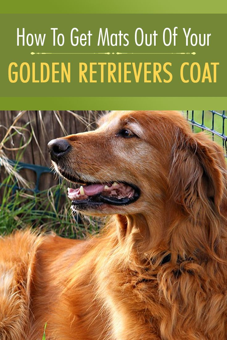 How To Get Mats Out Of Your Golden Retrievers Coat Golden Retriever Golden Retriever Grooming Golden
