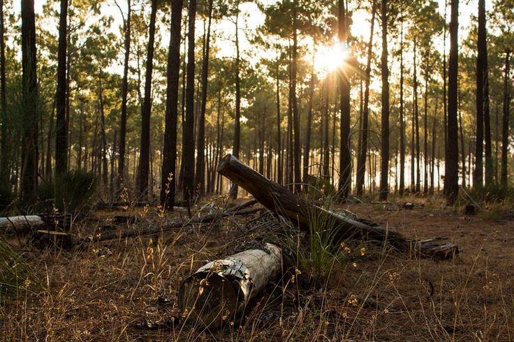 Rotting pine tree in the Perth pine forest. Taken by Matthew Schneider.