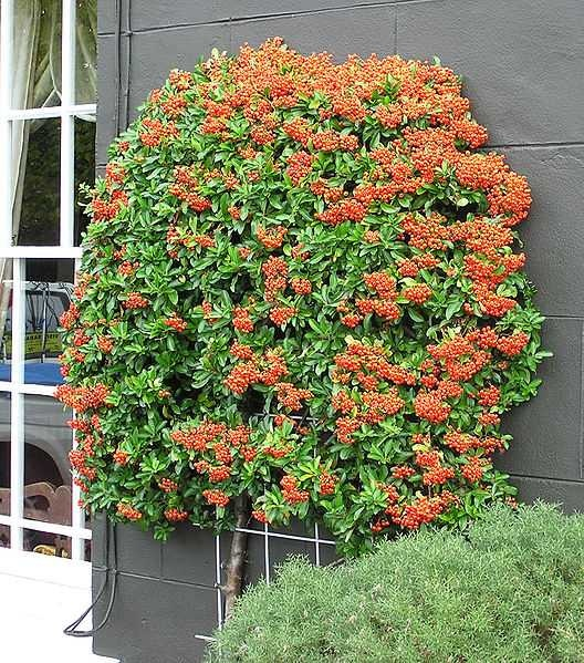 Firethorn (Pyracantha) - This attractive Pyracantha is grown as an espalier on a wall. This plant species is a valuable ornamental plant for its densely decorative flowers and fruit. Its dense thorny structure makes it particularly valued in situations where an impenetrable barrier is required.