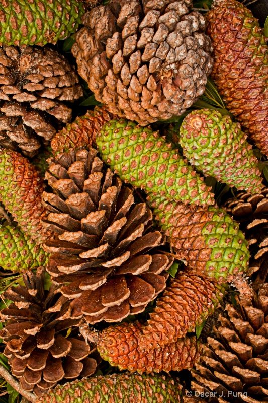 Windfall. A strong windstorm stripped our pine trees of their cones. by Oscar J Pung