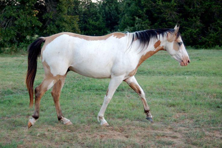 Lokai horse. Other crosses are added today to create a more suitable saddle horse. Картинки и фото с породистыми лошадьми - от локайской и буденновской до кустанайской