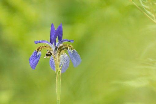 Iris, Bloemen, Republiek Korea