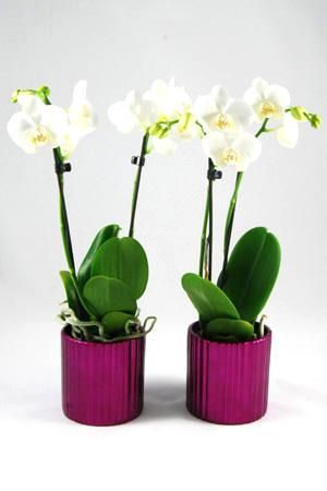 Orchidee Phalaenopsis Amabilis in Metallic donkerroze keramiek. Little Kolibri Orchids. Tafelmodellen.
