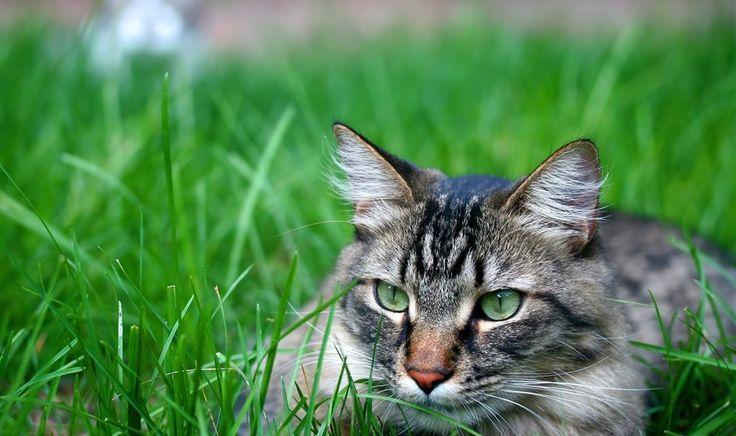 Zöldszemű macska vadászat módban a fű
