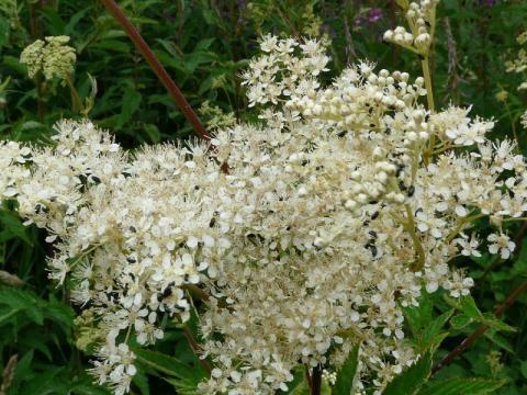 Meadowsweet: a bit of a headache | The Nature of Dorset