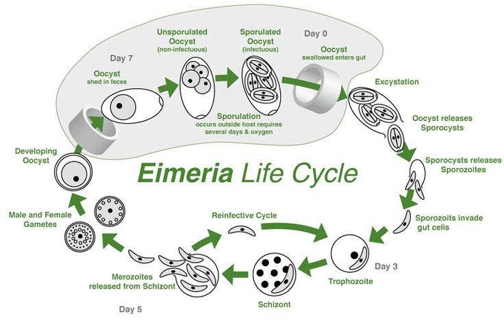Coccidiosis life cycle