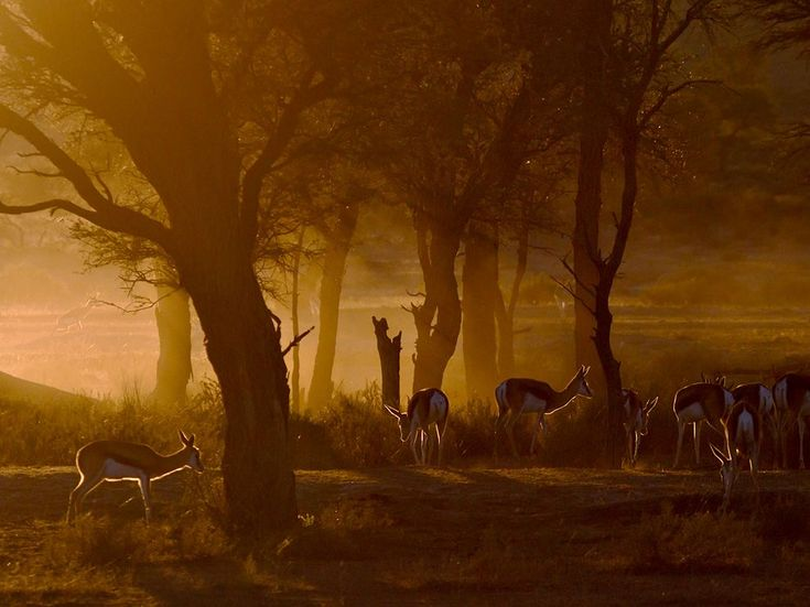 Springboks, South Africa  Photograph by Morkel Erasmus, Your Shot    This Month in Photo of the Day: Animal Pictures    The golden light at dusk and dawn in the Kalahari is amazing and can enhance the mood of a scene greatly. On this particular morning in the Kgalagadi Transfrontier Park, the rising sun was filtered by an ancient forest of camel thorn acacia trees, with a herd of springbok gazelles in attendance to complete the scene.