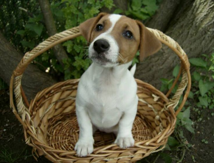Shorty Jack Russell Terriers | Shorty Jack Russell Breeders | Vaccines