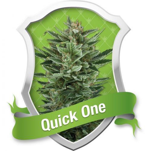 La Quick One est une plante de cannabis à croissance rapide. Une variété de la collection Royal Queen Seeds.