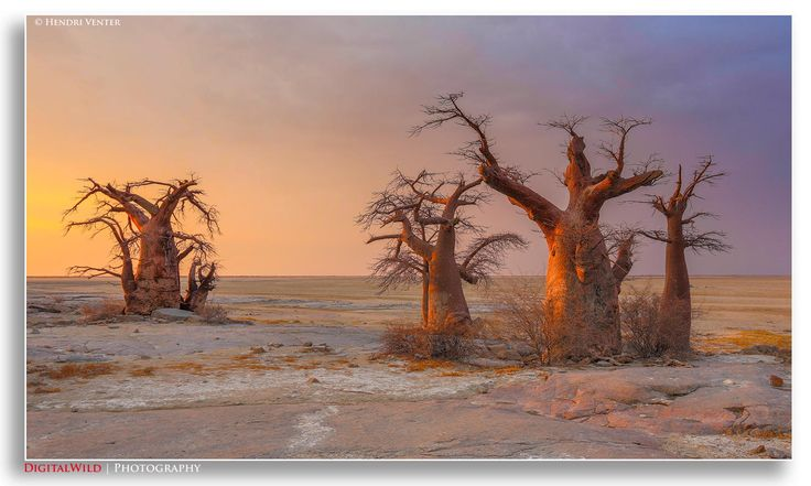 Baobab trees on the edge of Kubu Island. Kubu Island is a dry granite rock island located in the Makgadikgadi Pan area of Botswana. The entire island is a national monument, and is considered a sacred site by the indigenous people of the area. © Hendri Venter https://www.facebook.com/Digitalwild www.DigitalWild.co.za