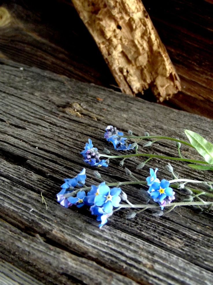 forgetmenots, flowers