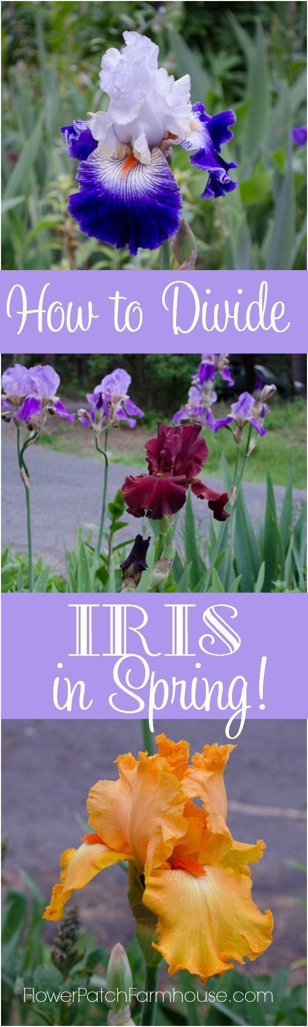 How to Divide Iris in Spring successfully and not lose a bloom. I do it all the time and have been 100% successful. Come read about my out of the box gardening style! http://FlowerPatchFarmhouse.com