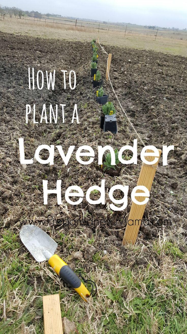 How to plant a lavender hedge for a garden windbreak | PreparednessMama