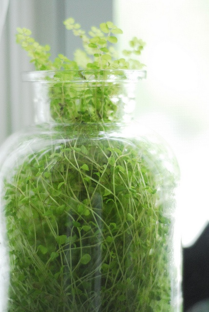 how to grow alfalfa sprouts indoors