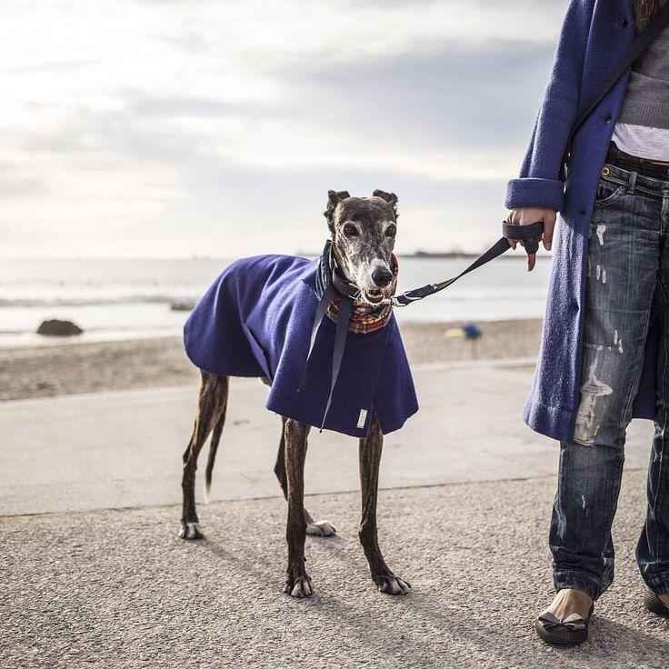 """O Clube da Tula en Instagram: """"Shocking blue wool for Two... Cuando NO combinar tu look con el de tu perro es un pecado... Abrigo de #burel by O Clube da Tula #dogstagram #dogshow #dogslover #dogs #fashion #fashionista #galgo #galgos #greyhound #greyhoundlove #galgosofinstagram #instagalgos #fashionblogger #fashionaccesories"""""""