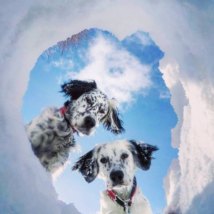 """""""So, what are you doing this week?  We are trying to build a #snowcave 🐾""""  #englishsetter #birddog"""