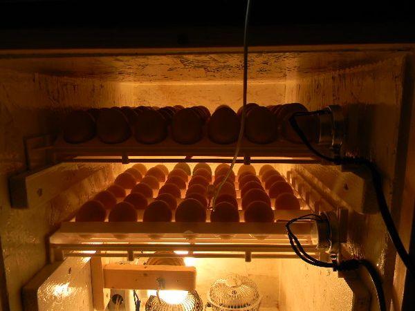 eggs in cabinet incubator 001.JPG