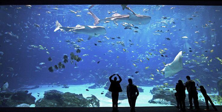 No te pierdas este hernoso vídeo:Okinawa Churaumi Aquarium ¿Sabías que para albergar al pez más grande del mundo hubo que construir un acuario especialmente?  El acuario Okinawa Churaumi , esta localizado en Motobu, Okinawa,Japón. es el segundo acuario más grande del mundo, después del Georgia Aquarium en Atlanta, USA y es parte del Parque Nacional del Gobierno Ocean Expo Commemorative.
