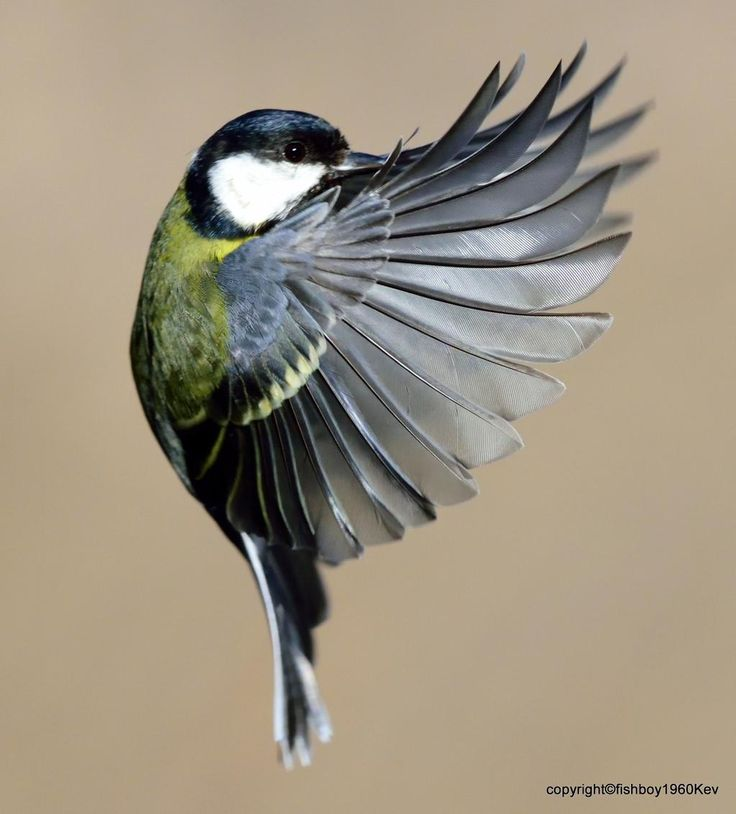 Great Tit in Flight by TopkitKev on twitter. Gorgeous!