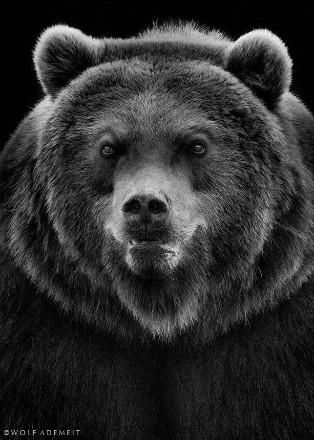 angry bear black and white - photo #5