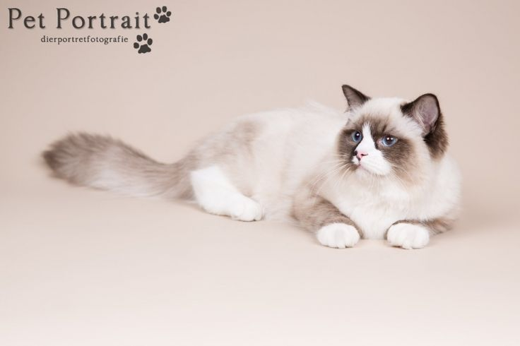 Kattenfotograaf Hillegom - Fotoshoot voor een Heilige Birmaan en een Ragdoll-3