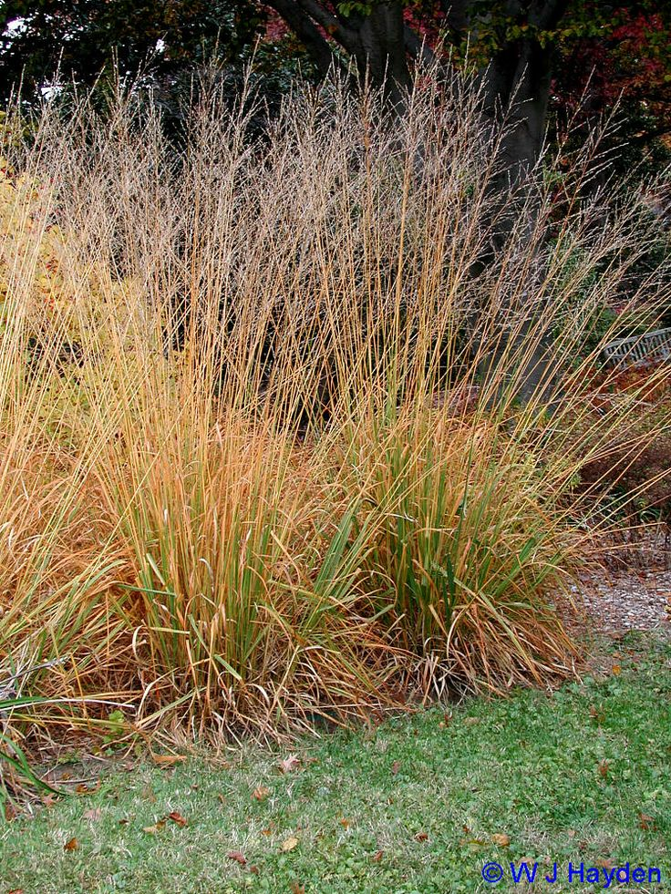 Skyrace, tall purple moor grass, 7-8ft, sun