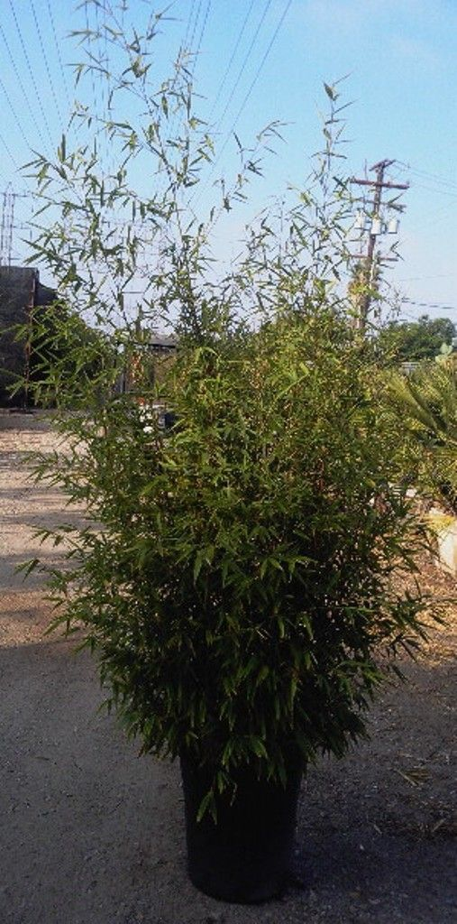 Nj Bamboo Landscaping: Best 25+ Phyllostachys Nigra Ideas On Pinterest