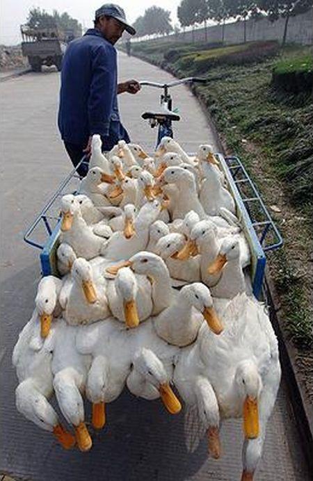 Carrying ducks