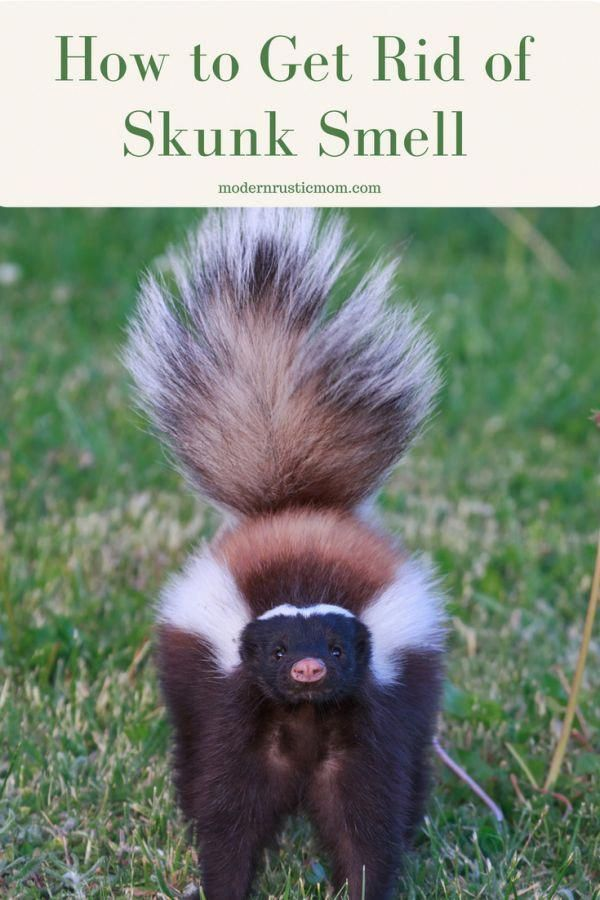 How To Get Rid Of Skunk Smell Skunk Smell Getting Rid Of Skunks Dog Sprayed By Skunk