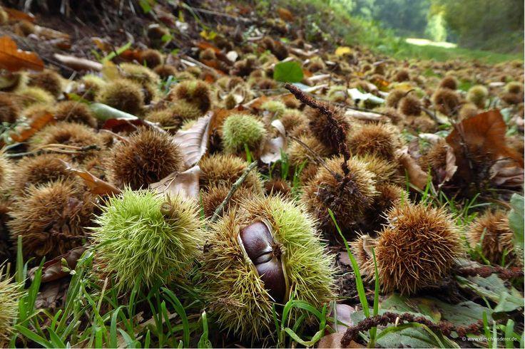 Pfälzerwald In der Pfalz heißen die Edelkastanien Keschden.