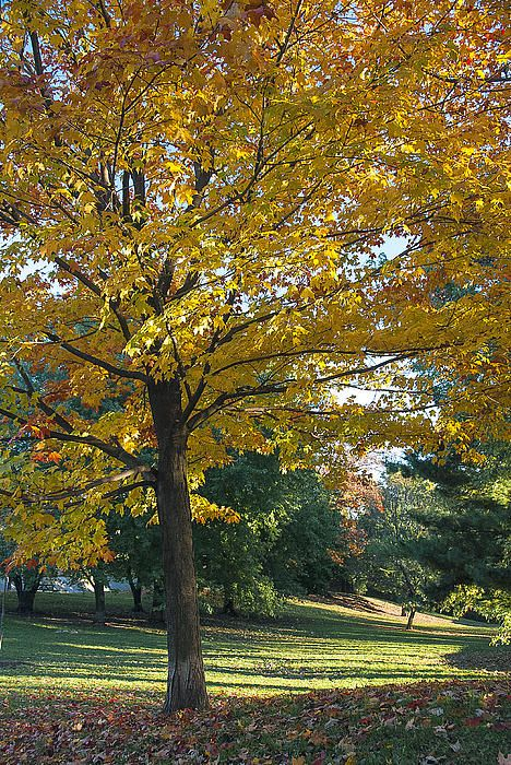 For a few weeks each fall, Monarch Park's trees show off their more colourful side. I've photographed this tree on a number of occasions. The late afternoon sun illuminated the fall colors and provided some nice long shadows in the background. #autumn, #leaves, #trees