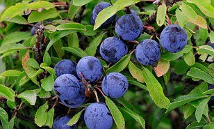 Bumper year for sloe berries thanks to the bad weather | Daily Mail Online