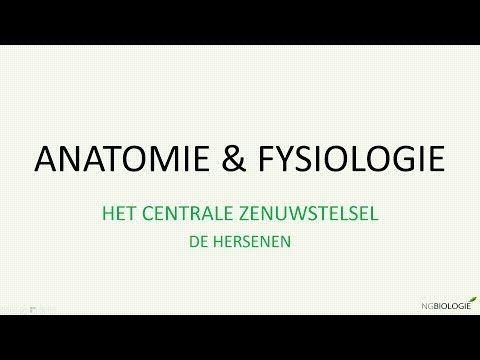 (4) Het centrale zenuwstelsel - de hersenen - YouTube