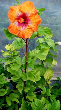 Hidden Valley Hibiscus - Pruning Hibiscus