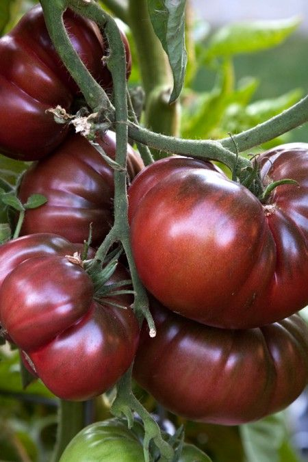 Heirloom Tomato 'Black Krim.' These were our favorite from this year. #1 on our…