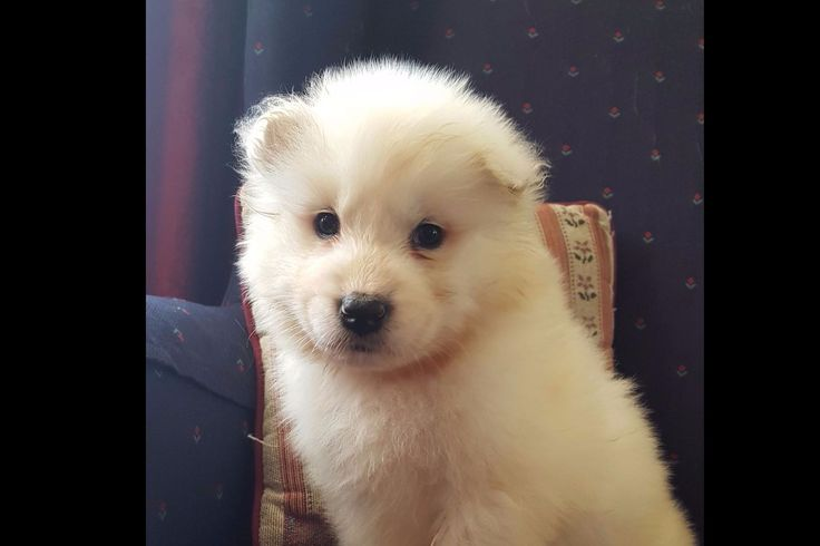 Jan King Has Samoyed Puppies For Sale In Mohnton, PA On AKC PuppyFinder