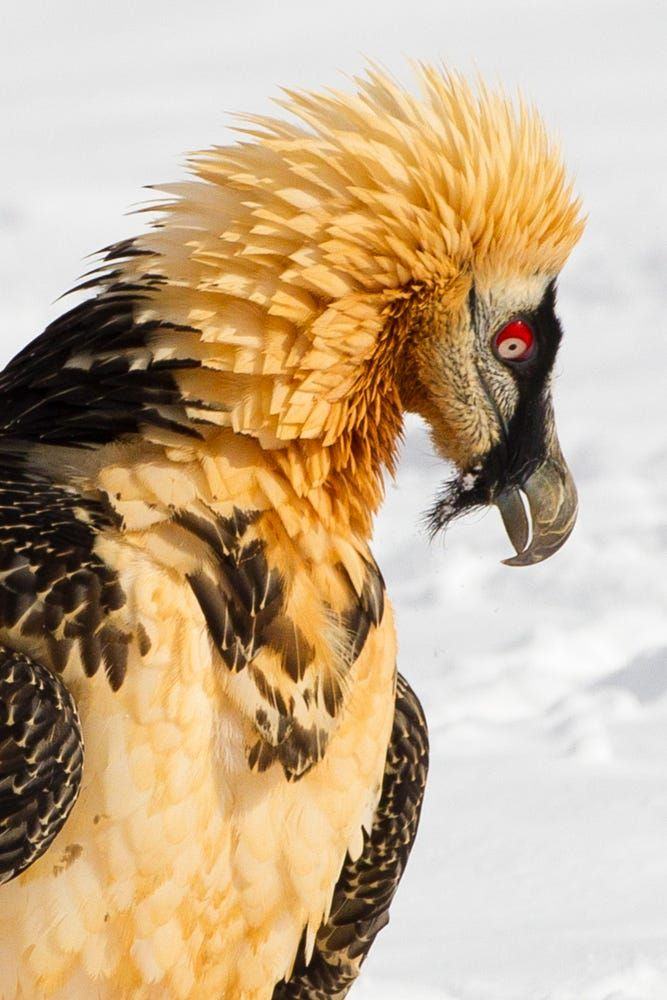 Birds of Prey - Bearded Vulture - by Ashley Grove