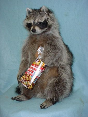 raccoon taxidermy for sale