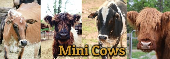 Miniature Zebu Cows & Mini Fluffy Cows for Sale