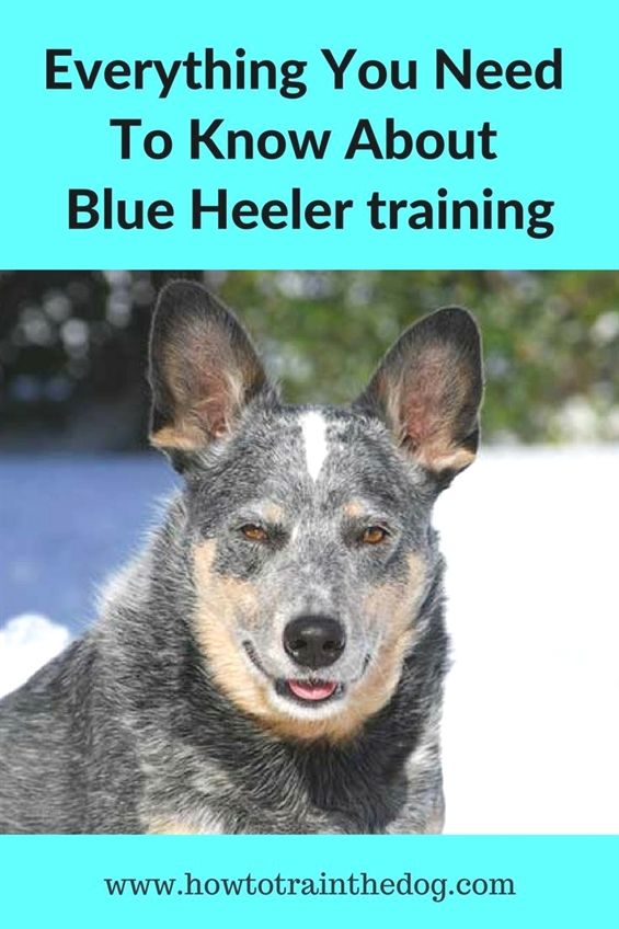 Everything You Need to Know About Blue Heeler…