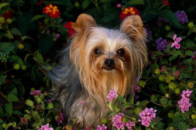Find Yorkshire Terrier - Yorkie puppies for sale with pictures from reputable dog breeders. Ask questions and learn about Yorkshire Terriers - Yorkies at NextDayPets.com.