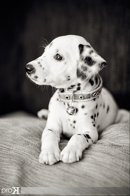 dalmatian puppy. OMG this makes me miss my old dog :(