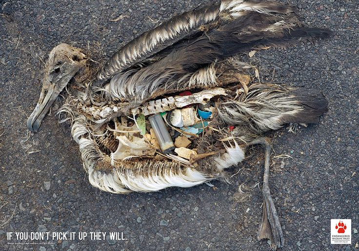 you showed this image to us in class and it really stuck with me. It's terrifying how much plastic we leave around, and how much of it ends up in our oceans, and its the organisms. This bird is just one example of how far human impact can spread without recognition