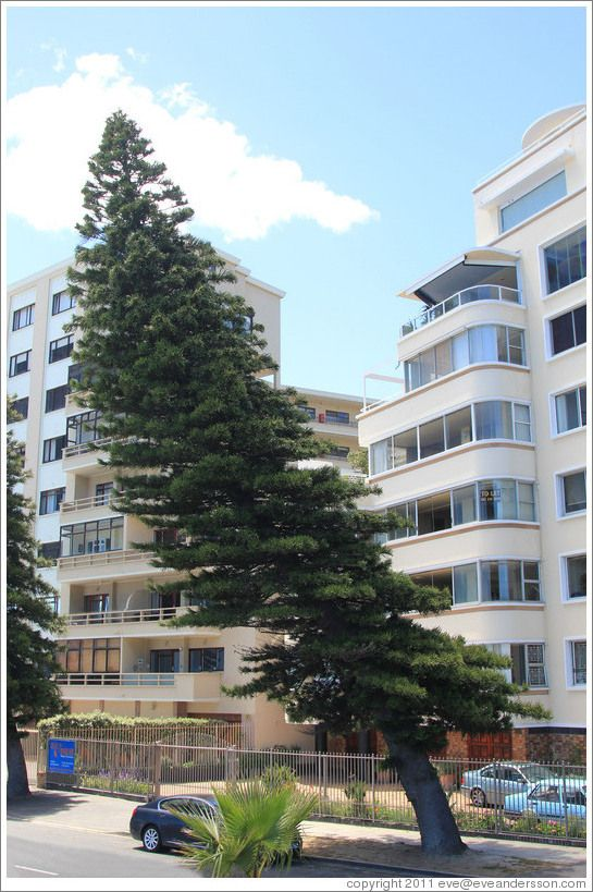 Cape Town, South Africa > Tree bent by wind blowing in from the bay and rebounding off the buildings. Sea Point.