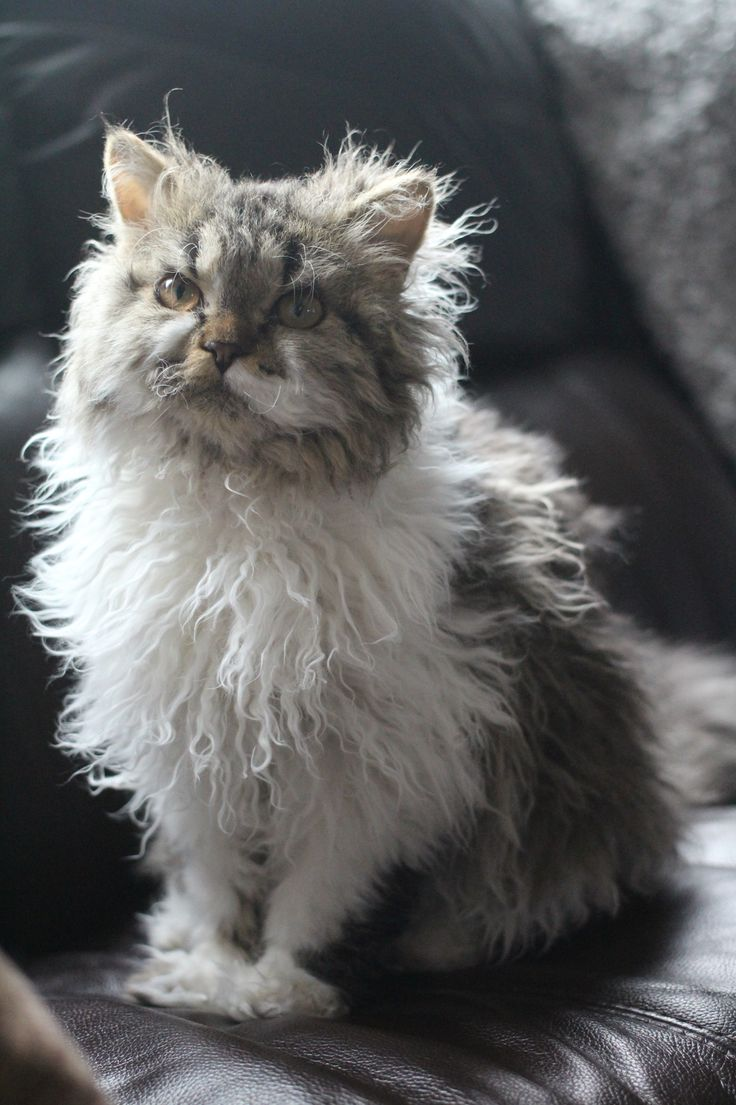 Selkirk Rex chat mouto...